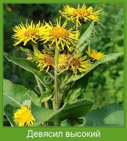 Растение  Девясил высокий Фото