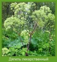 Растение  Дягиль лекарственный Фото