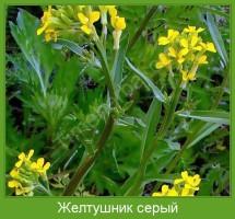 Растение  Желтушник серый Фото