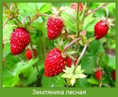 Растение  Земляника лесная Фото
