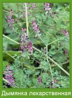 Растение  Дымянка лекарственная Фото
