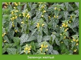 Растение  Зеленчук желтый Фото