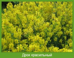 Растение  Дрок красильный Фото