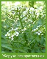 Растение  Жеруха лекарственная Фото