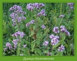 Растение  Душица обыкновенная Фото