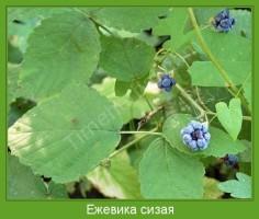 Растение  Ежевика сизая Фото