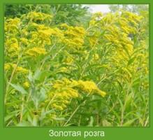 Растение  Золотая розга Фото