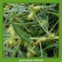 Растение  Дурнишник колючий Фото