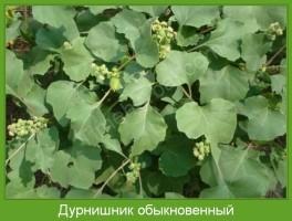 Растение  Дурнишник обыкновенный Фото